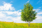 Birch on green meadow — Stock Photo