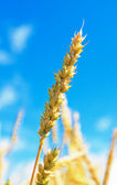 Wheat ear and cloudy sky — Stok fotoğraf