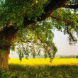 Oak in a field — Stock Photo