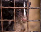 Young striped skunk — Stock Photo