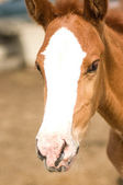 Foal Horse — Stock Photo