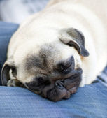 Funny pug puppy sleeps on hands for an owner — Stock Photo