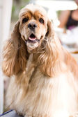 American Cocker Spaniel sitting in front — Stock Photo