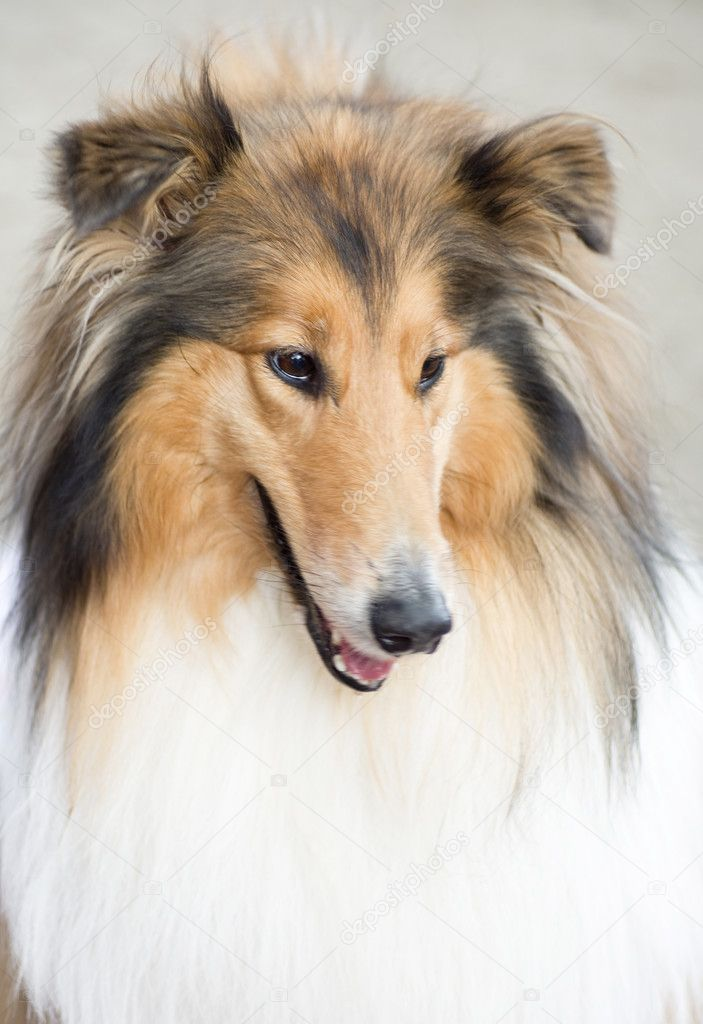 Tan and white Shetland Sheepdog  Stock Photo #11251238