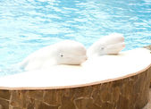 Two beluga whales (white whale) in water — Stockfoto