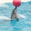 Performing dolphin with red ball — Stock Photo