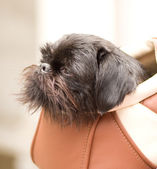 Miniature schnauzer sits in bag — Stock Photo