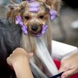 Beautiful Yorkshire terrier getting his hair cut at groomer — Stock Photo #11467828
