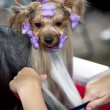 Beautiful Yorkshire terrier getting his hair cut at the groomer — Stock Photo #11467828