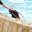 Performing seal with red hoop — Stock Photo #11468057
