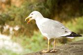 Lesser gray-backed Gull — Stock Photo