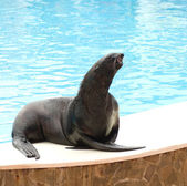 Performing seal — Stock Photo
