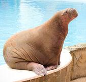 Big Walrus — Stock Photo