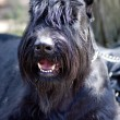 Black miniature schnauzer — Stockfoto