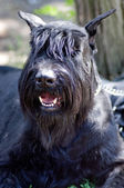 Black miniature schnauzer — Stock Photo