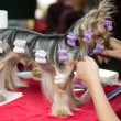 beautiful yorkshire terrier getting his hair cut at the groomer — Stock Photo