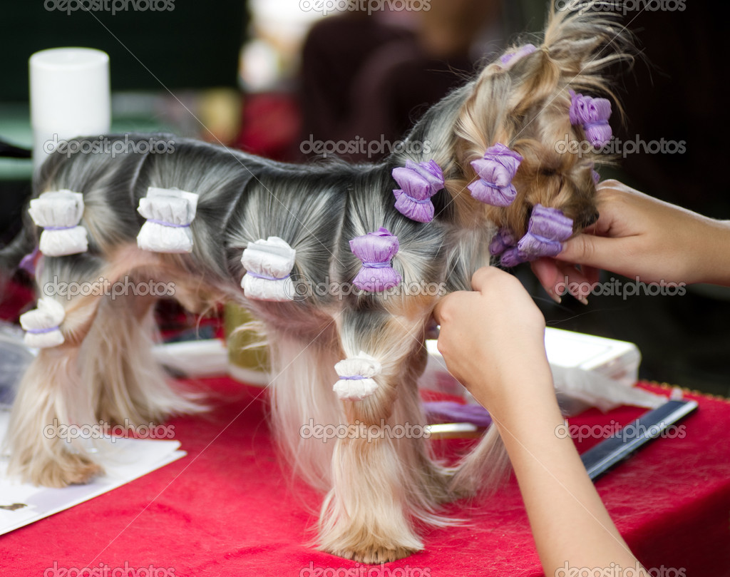 Beautiful Yorkshire terrier getting his hair cut at the groomer — Stock Photo #11631786