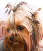 Puppy yorkshire terrier — Стоковое фото
