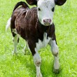 Farm animal. Little calf playing on meadow — Stockfoto