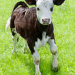 Farm animal. Little calf playing on meadow — Foto Stock