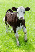 Farm animal. Little calf playing on meadow — Stock Photo