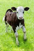 Farm animal. Little calf playing on meadow — Stock Photo