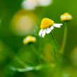 Stock Photo: Medicine chamomile flower
