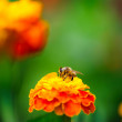 Bee collecting pollen from calendula flower — Stock Photo