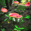 Stock Photo: Fly agaric mushrooms in forest