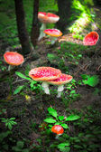 Fly agaric mushrooms in forest — Stock Photo