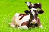 Two little calf on meadow — Stock Photo