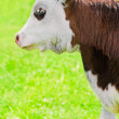 Stock Photo: Little calf on green summer meadow