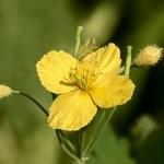 Yellow meadow flower celandine — Stock Photo