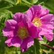 Two flowers of a dogrose — Stock Photo #11505683