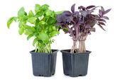 Zielony i fioletowy bazylia rośnie w doniczka — Zdjęcie stockowe