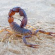 Aggressive scorpion — Stock Photo