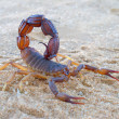 Aggressive scorpion — Stock Photo #10771403