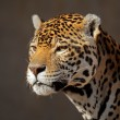 Stock Photo: Jaguar portrait