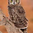 Stock Photo: Spotted eagle-owl