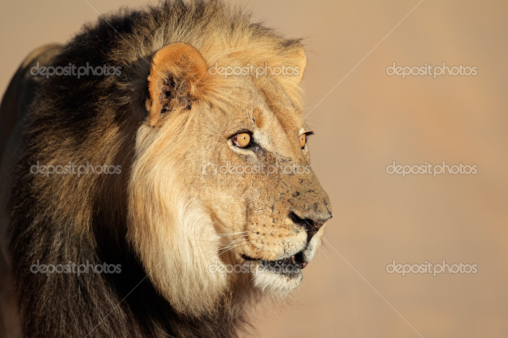 Portrait of a big male African lion (Panthera leo), South Africa  Stock Photo #10910281