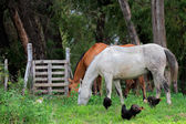Horses and chickens — Stockfoto