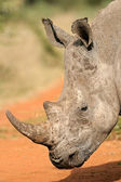 White rhinoceros — Stockfoto