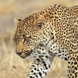 Stalking leopard — Stock Photo