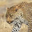 Stock Photo: Stalking leopard