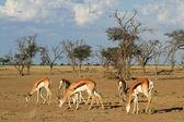 Springbok herd — Stock Photo
