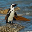 African penguin — Stock Photo #11357621