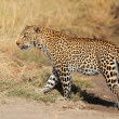 Leopard walking - Stock Photo