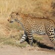 Stock Photo: Leopard walking