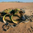 Welwitschia, Namib desert — Stock Photo #11357664