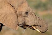 Słoń afrykański picia — Zdjęcie stockowe